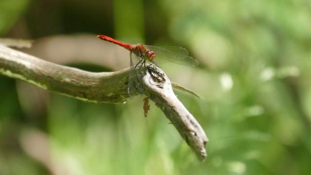 Sympetrum sanguineum male