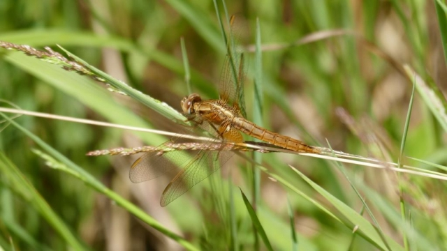 crocothemis écarlate femelle