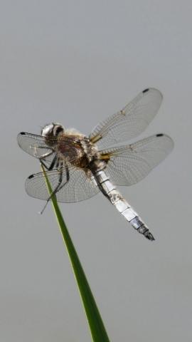 libellule fauve mâle